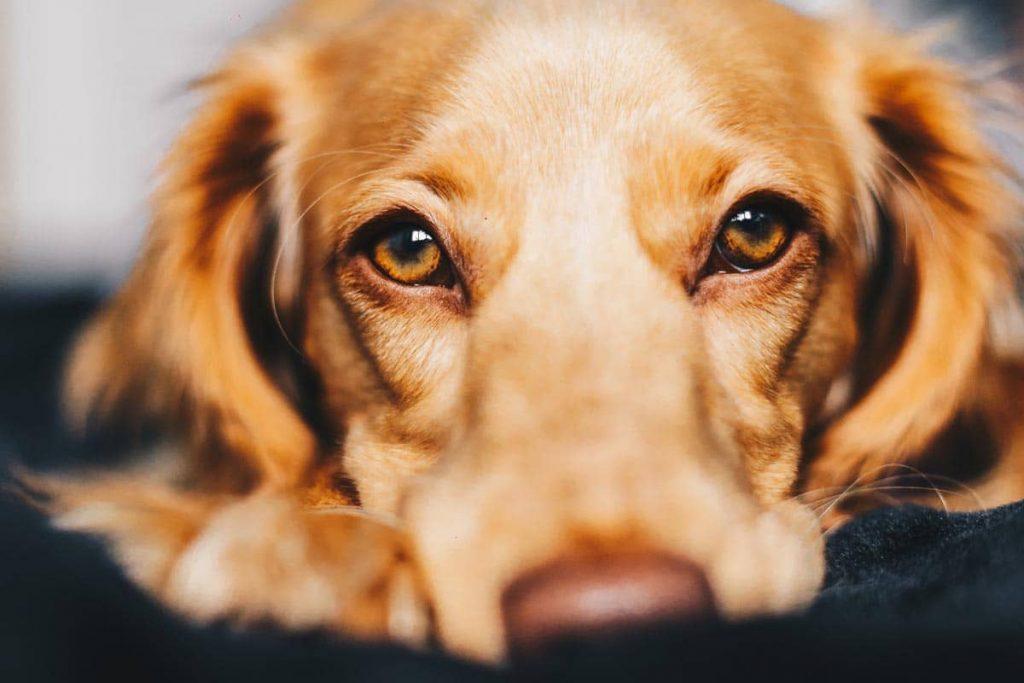Σκύλος Φοβάται τα Βεγγαλικά