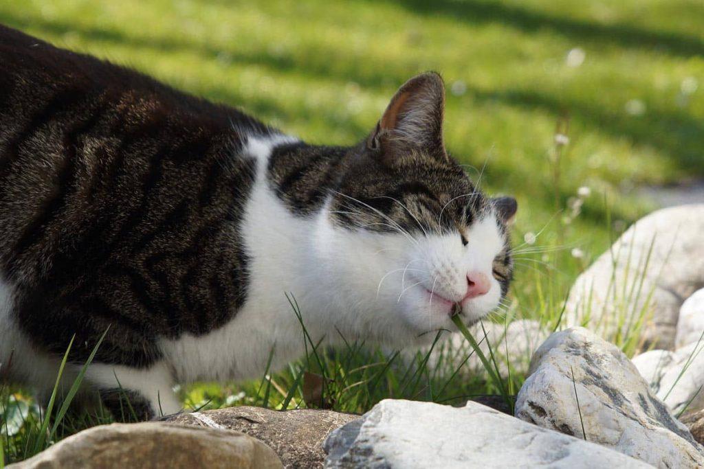 Γρασίδι για Γάτες