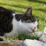 Οι γάτες τρώνε γρασίδι;