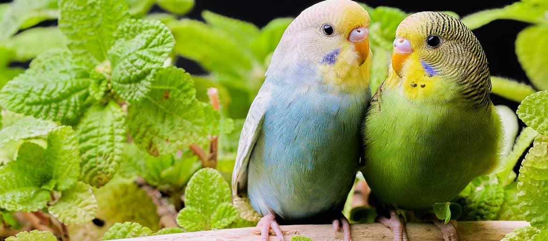 Παπαγαλάκια Budgie