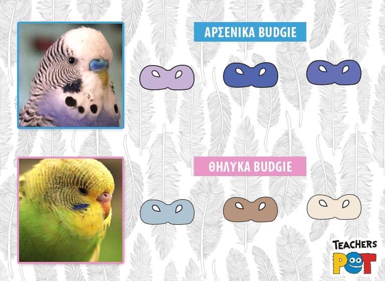 Παπαγαλάκια Budgie Αρσενικό Θηλυκό