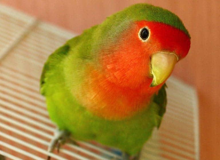 Παπαγαλάκια Lovebirds
