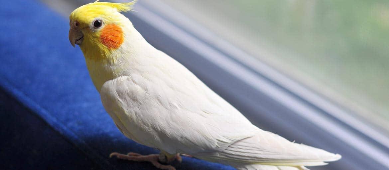 Παπαγάλοι Κοκατίλ