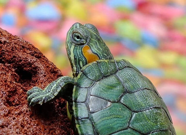 Χελωνάκια Νερού