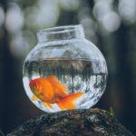 Χρυσόψαρο σε γυάλα: απλά πείτε όχι
