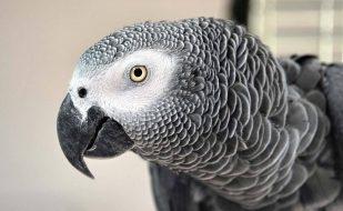 παπαγάλοι που μιλάνε